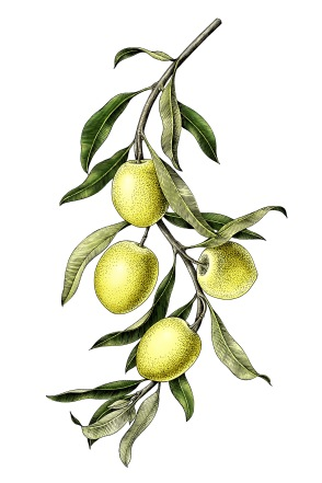 Olive branch illustration vintage clip art isolate on white back